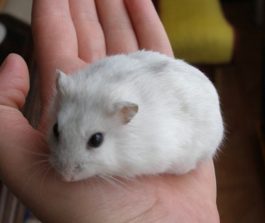 What is the lifespan of a Dwarf Winter White Russian Hamster?